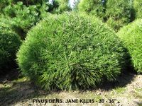 PINUS DENS and  JANE KLUIS  30 to 36 inches
